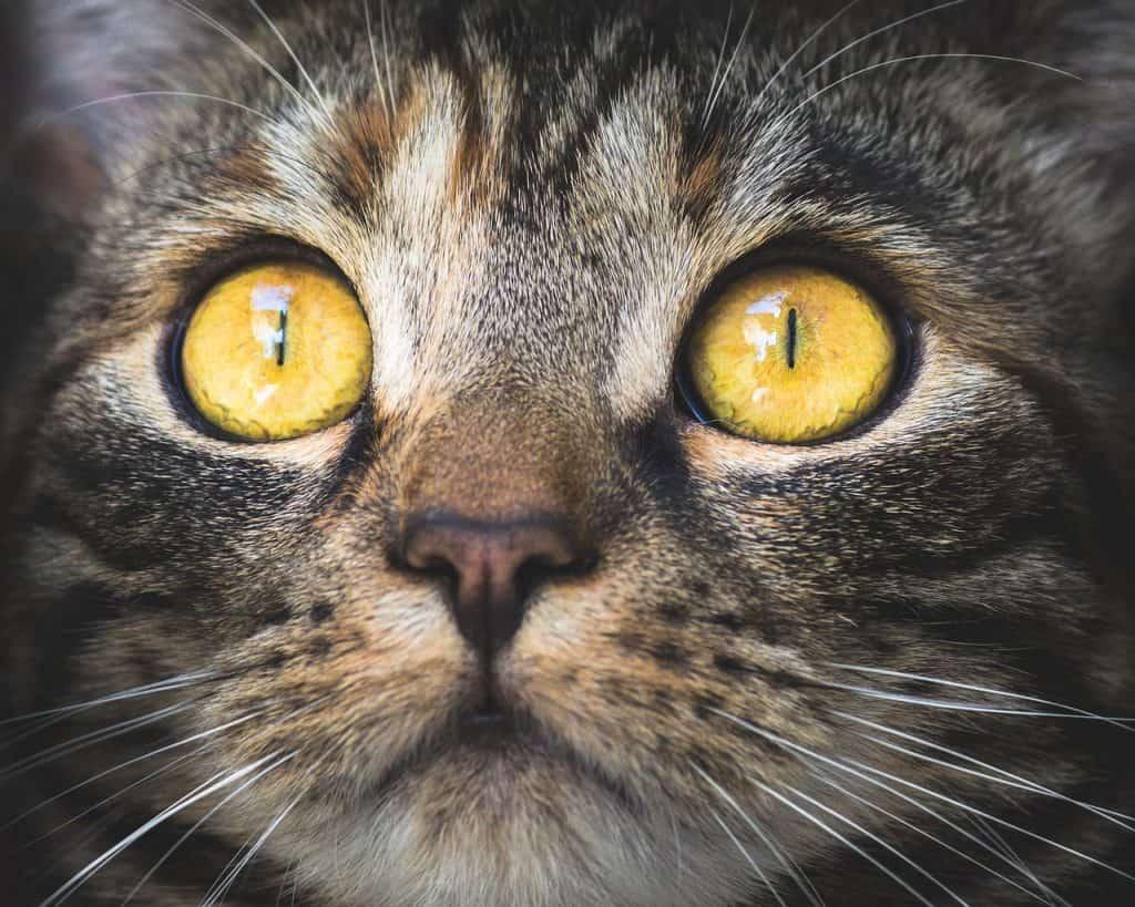 חתול אפור